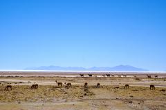 23.-Vicuna-front-and-Llama-at-the-Salt-Flats