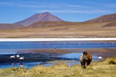 39.-Flamingos-and-Llamas-Laguna-Hedionda
