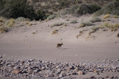 8. Coyote at San Pedro, we heard them sing us to sleep every night