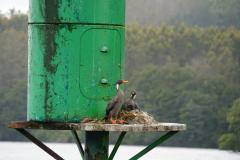 19.-Red-legged-Cormorant-nesting