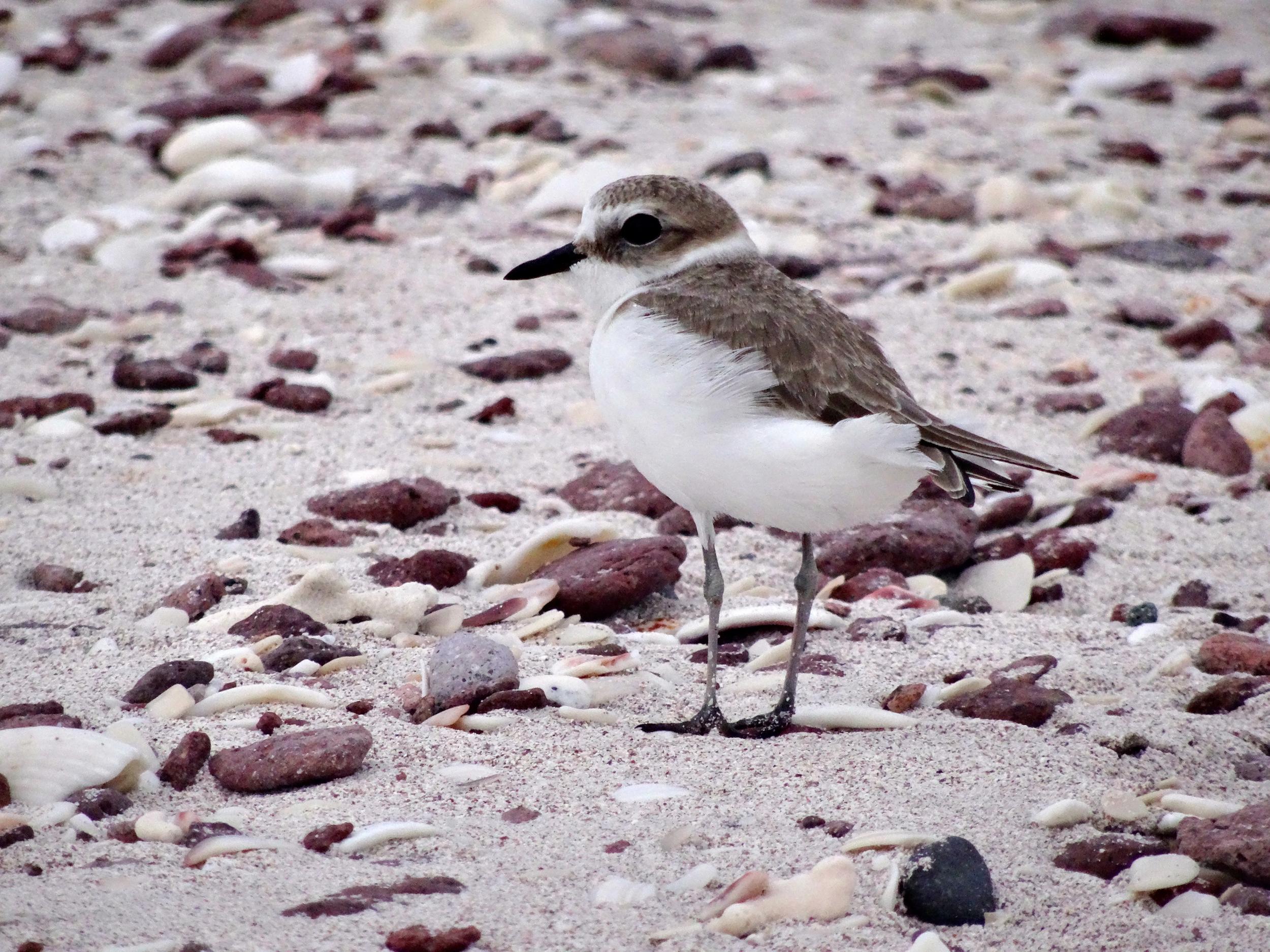 15. Shorebird