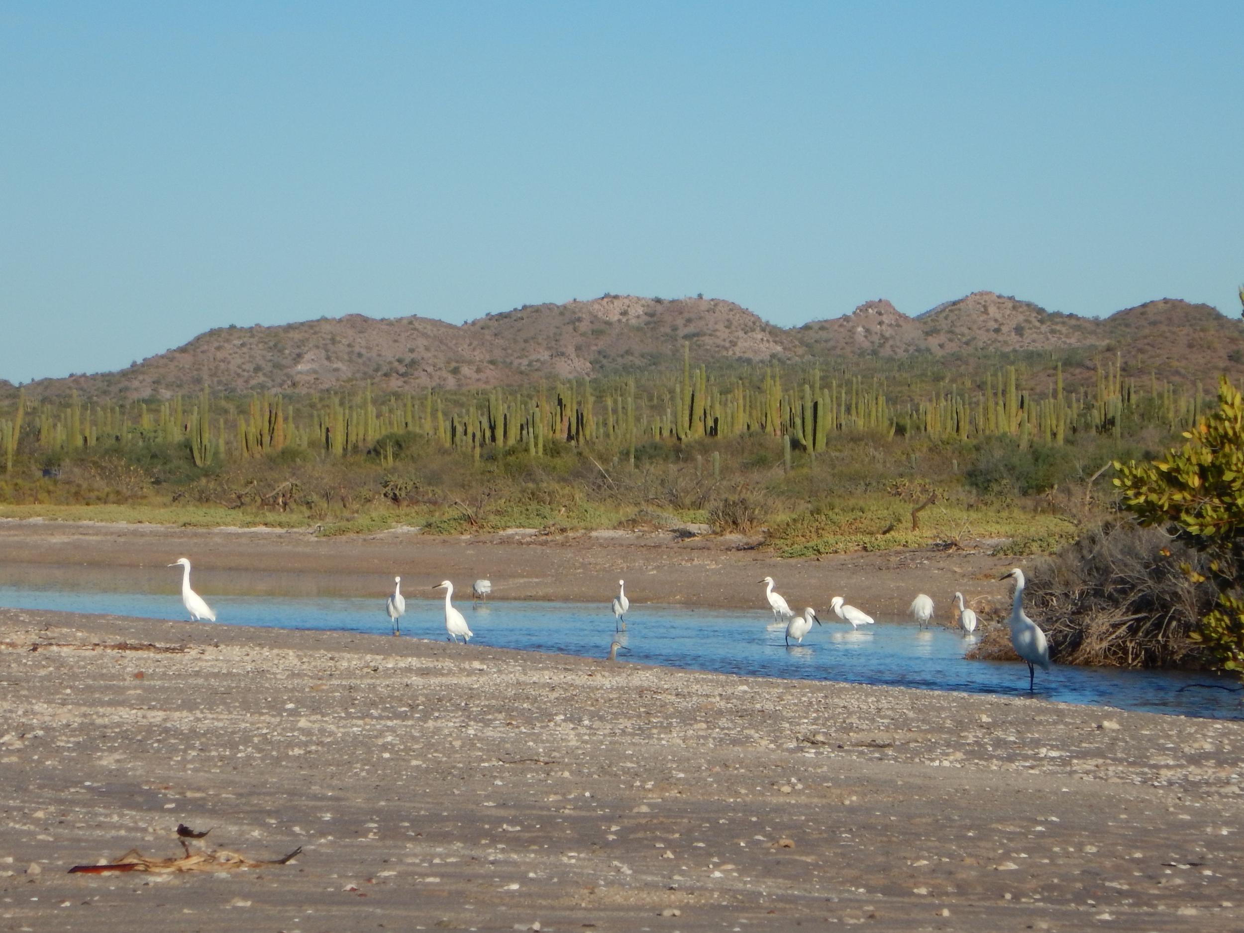23. Egrets at Amortajada