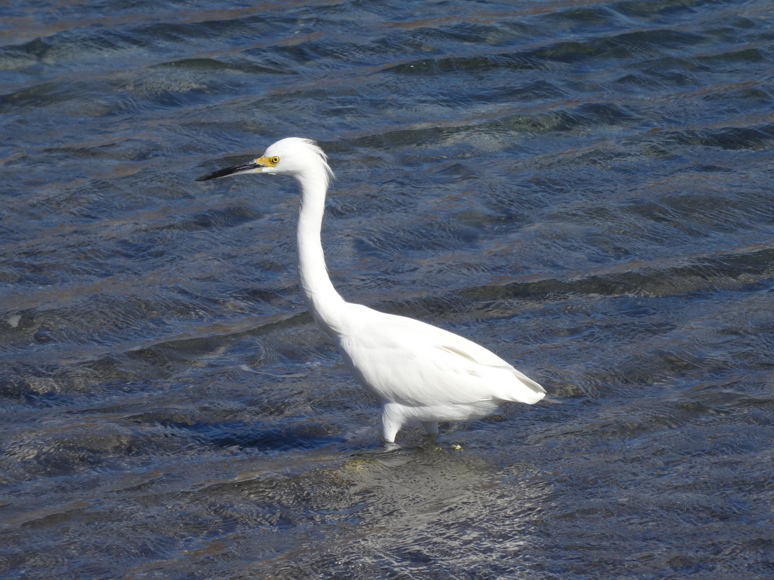 30. Egret