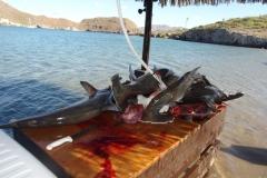29 Hammerhead shark fishing at San Evaristo