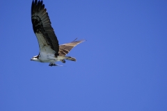 12. Osprey with a fish