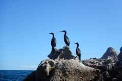 14. Cormorants