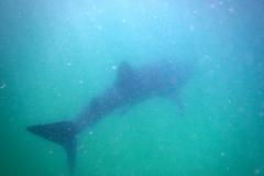 28. Whale shark! We got to swim with him!