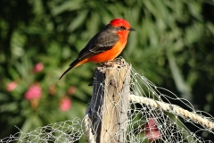 3. Vermillion flycatcher