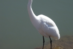 8. Great Egret