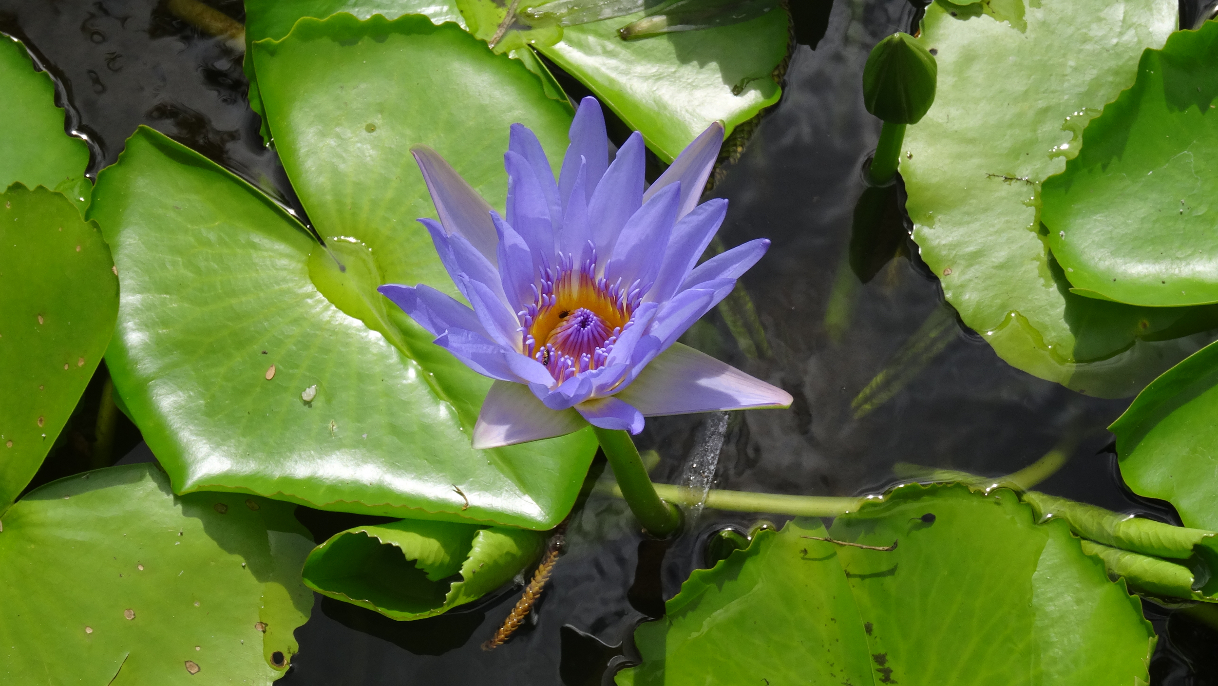 30. Water lily