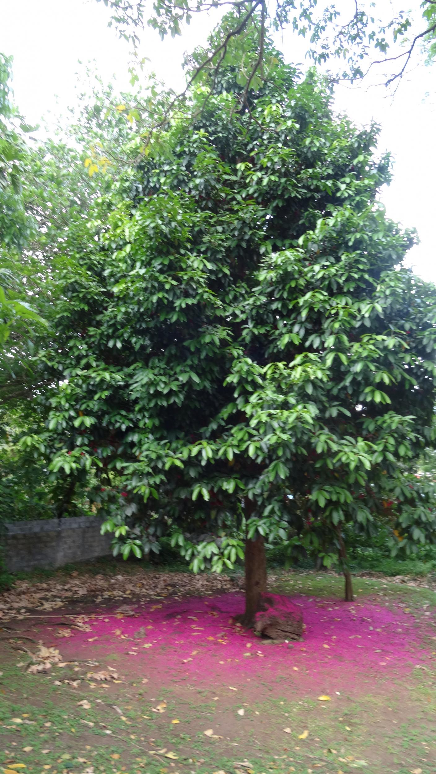 31. Japanese tree, outside appearance