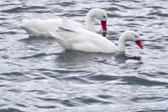 19.-Black-Tipped-Swan