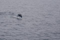 3.-Fur-Seal-following-the-boat