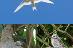 19.-White-fairy-tern.-Lays-egg-on-branch-and-the-chick-stays-there-until-able-to-fly