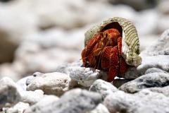 20.-Hermit-crab-on-Puaumu