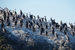10. Cormorants