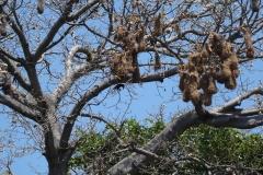 15. Oropendola nests, Las Isletas