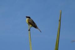 6. Birds of Nicaragua- Great Kiskadee